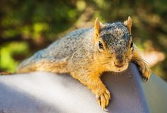 Lazy Squirrel Royalty Free Stock Photo