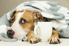Funny young pitbull dog in bed covered in throw blanket with steaming cup of hot tea or coffee Stock Images