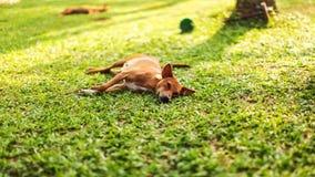 Lazy stray dog lying on the fresh green grass lawn. In holiday resort. Kalutara, Sri Lanka Stock Images