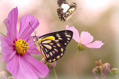 Lazy Summer Afternoon. Composite soft picture of butterflies and cosmos flowers Stock Images