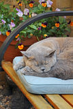 Lazy summer cat. Photo of a lazy summer pedigree british shorthair cat having a snooze on her favourite bench and cushion Royalty Free Stock Image