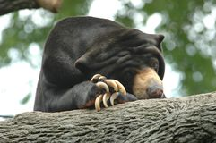 Lazy Sun Bear. Sun bear strikes a lazy pose with crossed paws under chin Stock Photos