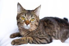 Lazy tabby cat lying Royalty Free Stock Image