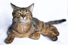 Lazy tabby cat lying. On a white background, insolent look stock image