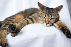 Lazy tabby cat lying Stock Image