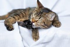 Lazy tabby cat lying Stock Photo