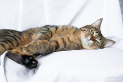 Lazy tabby cat lying Stock Photography