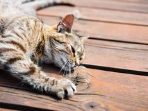 Lazy tabby cat lying on a wood, bright colours. Lazy tabby cat lying on a wood, from a side, bright colours Stock Image