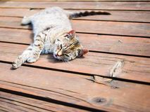 Lazy tabby cat relaxing on a wood, bright colours Stock Image