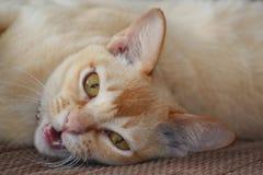 Lazy, talking cat Stock Photography