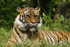 Lazy tiger. Have relax after dinner Royalty Free Stock Photo