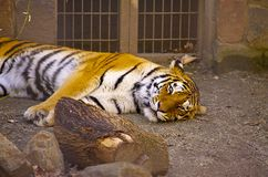 Lazy Tiger Stock Photos