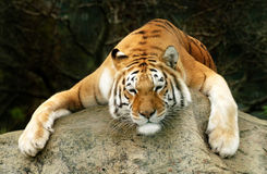 Lazy Tiger. Tiger sitting on a rock Royalty Free Stock Photo