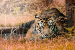 Lazy tiger. A tiger enjoying the day by sleeping in the cage Royalty Free Stock Image