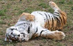 Lazy Tiger Stock Images