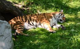 Lazy tiger taking a nap in the shade. Large male tiger taking a nap on the grass in the shade after a nice meal royalty free stock photos