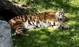 Lazy tiger taking a nap in the shade. Large male tiger taking a nap on the grass in the shade after a nice meal stock photos