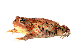A Lazy Toad Isolated on White Royalty Free Stock Image