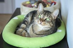 Lazy tomcat in cat bed with clever stern and serious expression, eye contact, lime eyes Stock Photography
