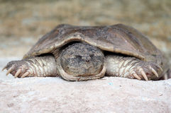 Lazy Turtle. Spread eagle while napping stock photo