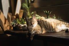 Lazy unhappy cat Royalty Free Stock Photo