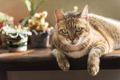 Lazy unhappy cat Stock Image