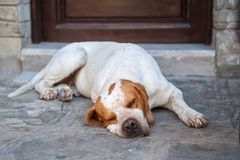 The lazy watchman, the dog sleeps near the door, fatigue struck royalty free stock images