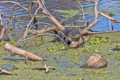 Lazy but Weary Alligator Sunning On Fallen Tree royalty free stock image