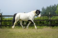 Beautiful Paint horse walking in the meadow stock image