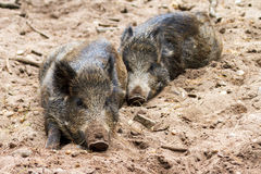 Lazy wild boars Stock Image
