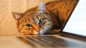 Lazy on work concept - cat near a laptop and office tools.  stock photo