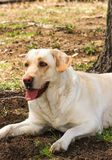 Lazy Yellow Lab. A yellow labrador takes a break under a tree royalty free stock image