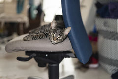 Lazy young tabby cat lying on office chair. Royalty Free Stock Photography