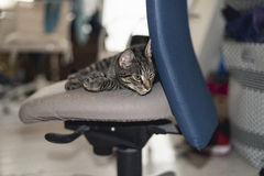 Lazy young tabby cat lying on office chair. Stock Photography