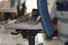 Lazy young tabby cat lying on office chair. Stock Images