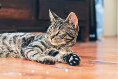 Lazy young tabby cat lying on wooden floor in house. Lazy young tabby cat lying on a wooden floor in house Stock Photo