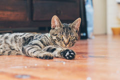 Lazy young tabby cat lying on wooden floor in house. Lazy young tabby cat lying on a wooden floor in house Royalty Free Stock Photos