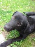 Lazzy-Hund Stockbild