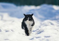 Lcat walks along the white fluffy snow in the winter yard and me Royalty Free Stock Photos