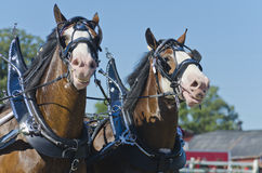 Lächelnde Clydesdale Entwurfs-Pferde am Land ehrlich Lizenzfreie Stockfotografie