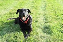 Lächelnder schwarzer Hund Lizenzfreie Stockfotografie