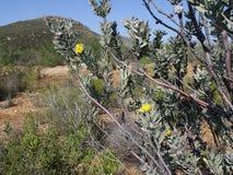 Lducocpermum rodolentum Stock Image