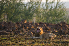 Leão África do Sul de bocejo Imagem de Stock Royalty Free
