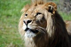 Leão Foto de Stock Royalty Free