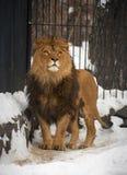 Leão Imagens de Stock