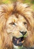Leão fotos de stock
