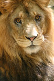 Leão fotografia de stock royalty free