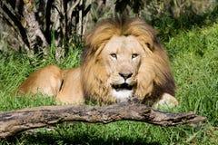 Leão Imagem de Stock