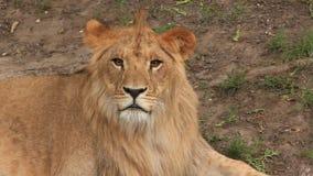 Leão vídeos de arquivo