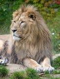 Leão 4 fotografia de stock royalty free